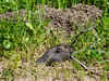 While I was having lunch, I saw some motion about 10 feet away across the trail.  It's a pocket gopher (Thomomys bottae).