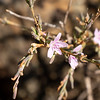 Stephanomeria virgata (wand wirelettuce) is a reliable fall bloomer on the mountain.