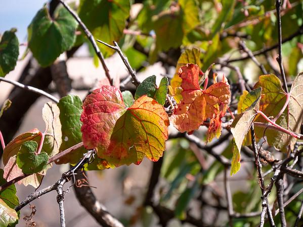 Vitis californica (California wild grape).  Just beginning to color.