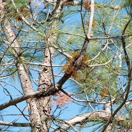 Arceuthobium campylopodum (western dwarf mistletoe, foothill pine dwarf mistletoe) on a gray pine.