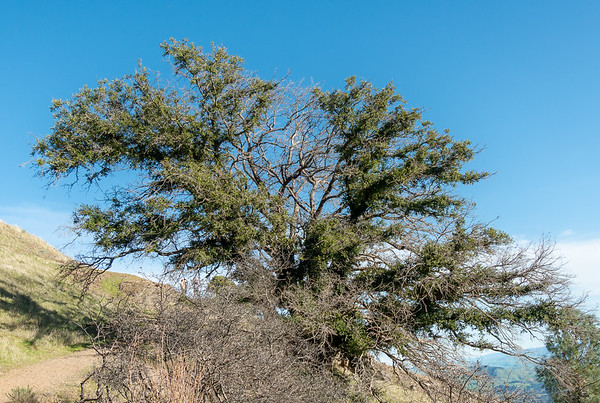 This oak burnt hard but now, 3 years later, has re-sprouted along many of it's branches.   Below Devil's Elbow.