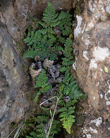 Myriopteris sp. (lip fern).  There are several Myriopteris species on Mt. Diablo, not all of which have pictures on Calflora.  M. covillei photo-matches best ... but not all *that* well.