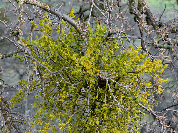 Phoradendron leucarpum (American mistletoe).   Finally, a good opportunity to take a picture of the stuff up close.  Often it's up high.