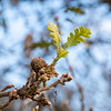 """Quercus lobata (valley oak) just coming into leaf.  That leaf's """"white oak"""" shape -- deeply lobed but no little points on the lobe ends -- is just about enough to define the species here.  Only Quercus garryana (Garry oak) is similar."""
