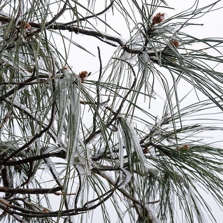 Snow coated the pine needles up here, and at the lower reaches it was dropping off with the breeze.  In places I got quite a shower of this second-hand snow.