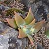 Dudleya cymosa (Canyon dudleya) in a not-moist, not-shaded spot.   Buds, but no flowers yet.