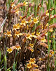 Aphyllon [formerly Orobanche] fasciculata (clustered broomrape).  I saw (and photographed) a amall patch of these on the roadside in May 2014. I wonder if this big patch is the same bunch, now greatly expanded?