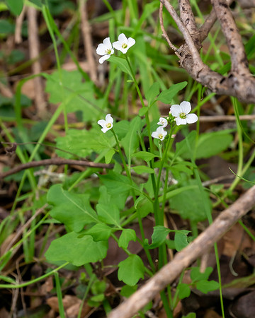 Cardamine californica (milk maids).  I've been seeing these on the trails since January, but they were all over the place here today.