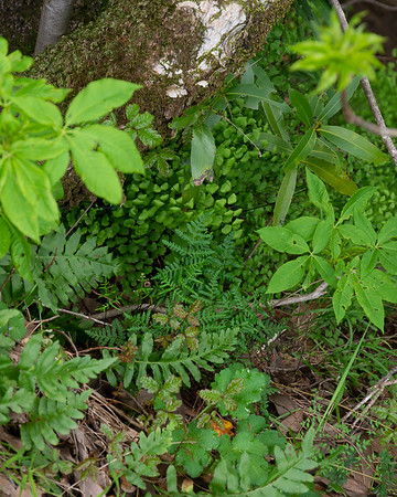 How many ferns are in the shadows?  I see maidenhair, California polypody, gold back, and coffee ferns (plus leaves of buckeyes and bays).