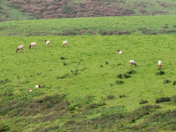 On the Drake's Beach road, there were two separate herds of tule elk.  I had heard they were outside the Pierce Point Reserve, but this is the first time I'd seen them in the main part of the park.