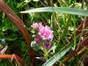 Sidalcea calycosa (annual checkerbloom).