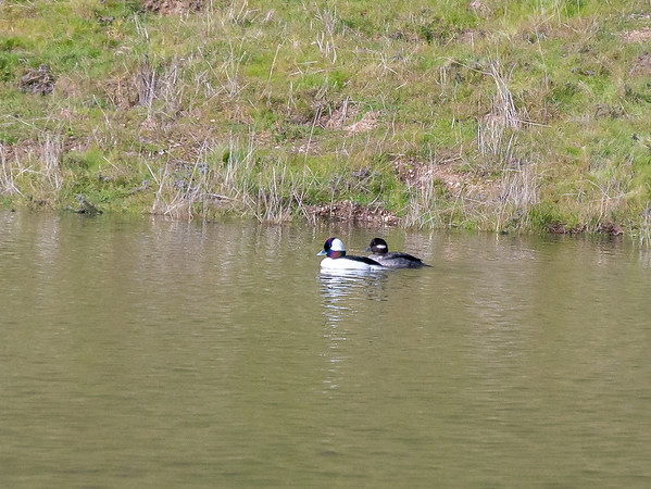 A breeding par of buffleheads in the pond near the upper junction of the McCorkle Trail and the Cerro Este Road.  I would have loved to have gotten closer, but they kept swimming away!