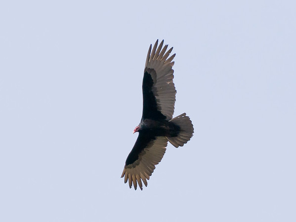 Turkey vulture.  I'm getting better on the bird-in-flight pictures.