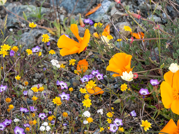 Gilia tricolor (birds eye gilia) too.  With goldfields, cream cups, popcorn flowers, and California poppies.