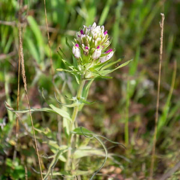 """Castilleja densiflora (dense flower owl's clover).   I think.   It's not hairy and thread-leaved so it's not C. exserta.  The styles poking out say it's not C. brevistyla or attunata.  Too big for attenuata too.  Those are the only """"owl's clovers"""" here.  BUT Jepson says leaf width is < 3mm and these are more."""