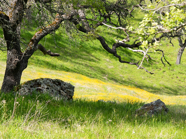 Heading down from Willson Peak toward Grizzly Gulch and Tule Pond, there were more flowers in the grass.  Here, goldfields (the sheet of yellow), and butter-and-eggs (the lighter yellow in with the goldfields), and California buttercup (the scattered yellows in the green grass).