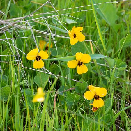 Viola pedunculata (Johnny-jump-up).