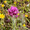 Castilleja exserta (purple owl's clover) for comparison.  This was from farther on today, up on Wasno Ridge.  Very hairy.  Thread-like leaves.  Pink too, but Castilleja densiflora can be pinker than in the previous pictures.