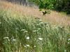 Achillea millefolium  (common yarrow) in the oats.