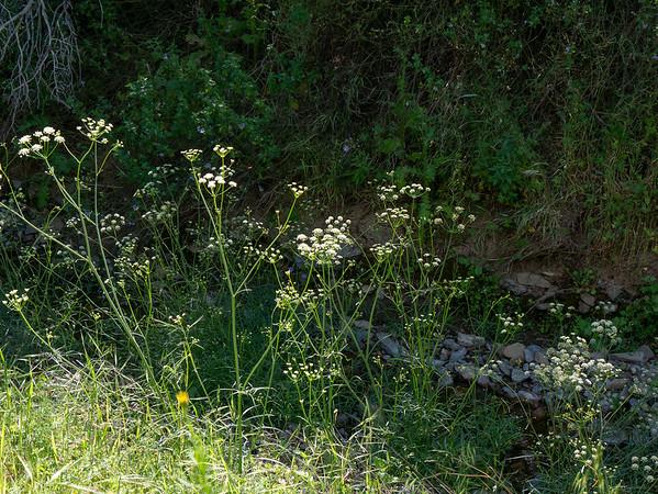 Perideridia californica (California yampah) along Robinson Creek.