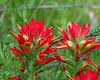 Castilleja affinis (coast Indian paintbrush).  A familiar flower, but a nice closeup view.