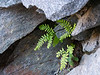 Adiantum aleuticum (five-fingered fern) growing at the darkest back end of the gorge.  I didn't recognize these small plants with fewer than the requisite number of fingers, but some fuller ones nearby clued me in.