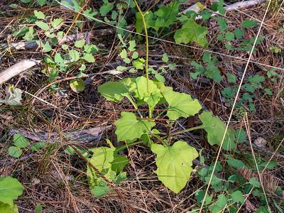 Asteraceae (Compositae) - Mutisiodeae