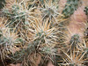 Cylindropuntia sp. (Cholla), possibly C. echinocarpa (silver cholla), up close.