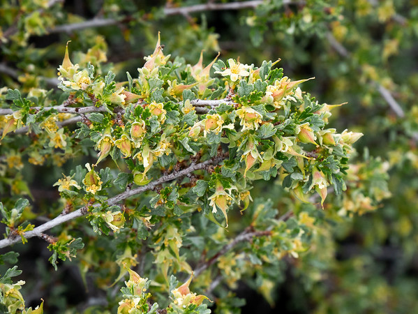 Purshia tridentata (antelope bush).  I'll see lots of this in the next week, on all parts of the trip.