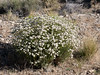 Eriogonum fasciculatum  (California buckwheat).  E. heermannii (Heermann's buckwheat) is possible but the clusters of flowers suggest the former more.