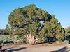 Juniperus osteosperma (Utah juniper).  From one last walk around camp now that all the weekenders have left.  A grand specimen.