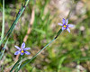 Sisyrinchium idahoense (Idaho blue-eyed grass) in one of the the riparian zones.  No question on the genus. The species identification based on location: I don't have enough here to use the keys.