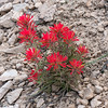 These harsh sites are not without wildflowers.  This paintbrush (Castilleja applegatei) really sticks out in this otherwise stark landscape.
