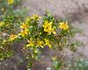 Larrea tridentata (creosote bush) up close.
