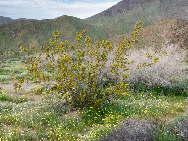 Larrea tridentata (creosote bush).   Camp was surrounded by these rangy, wildly blooming shrubs ... sitting in a carpet of flowers.   I didn't even recognize creosote bush in this state at first.  Brown eyes, desert dandelions, and Phacelia below.
