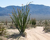 Fouquieria splendens (Ocotillo) -- in bloom -- as I drive up the dirt road to The Slot.  (No 4WD needed on this one.)  Lots more ocotillos in the background, almost a forest of them.