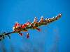 Fouquieria splendens (ocotillo) bloom up close.  This photo is from elsewhere, but it seems to fit best here.