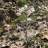 Hesperocallis undulata (desert lily), showing the whole plant.