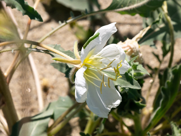 Oenothera deltoides ssp. deltoides (birdcage evening-primrose, dune evening-primrose)