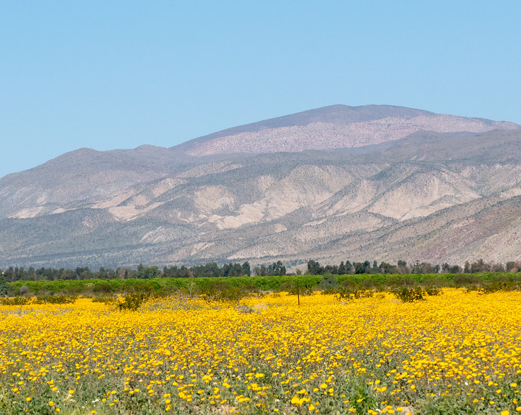 While the classic view is to the north (left on the picture including the road), the view the other way is equally yellow.  Here, though, the sunflowers back up on to citrus orchards.  There's just a little bit of agriculture in the Borrego Valley.