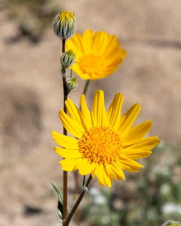 Geraea canescens (desert sunflower).
