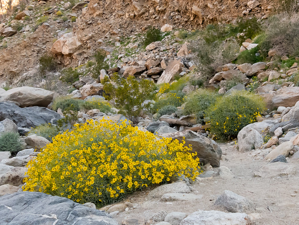 Encelia farinosa (brittlebush).  A mound of yellow when in full bloom.