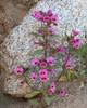 Mimulus bigelovii var. bigelovii (Bigelow's monkeyflower).