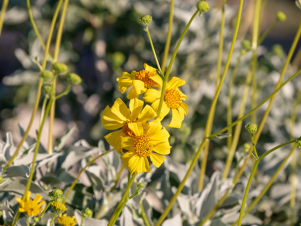 Encelia farinosa (brittlebush).  Just a yellow daisy up close.