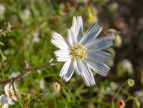 Rafinesquia neomexicana (desert chicory).  At least that's my best guess for the big white daisy ... largely because others have reported it.  Calycoseris wrightii (white tack stem) looks very similar from above, however, and I didn't get a picture of the back.