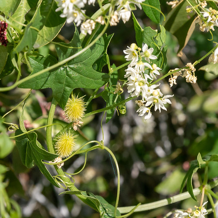 Marah macrocarpa (chilicothe, wild cucumber).  The southern California wild cucumber.