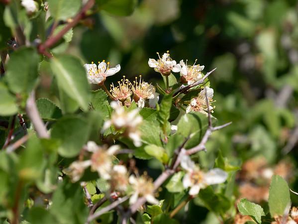 Prunus fremontii (desert apricot).