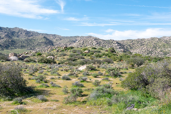 """More of the Culp Valley landscape.  It still looks """"desert-y"""" with all the chollas, but the shrubs are different than at lower elevations, and interesting up close ..."""
