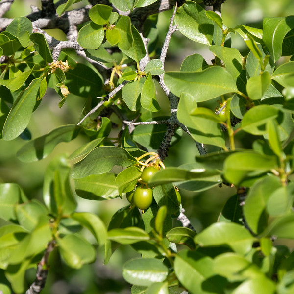 """Ziziphus parryi (lotebush, Parry's jujube).  When I took this picture I thought I was shooting a Prunus fremontii in fruit.  But the leaves are very wrong.  Jepson describes Ziziphus parryi as """"uncommon"""", but there are collection records at Culp Valley.  CNPS does not list it as rare."""