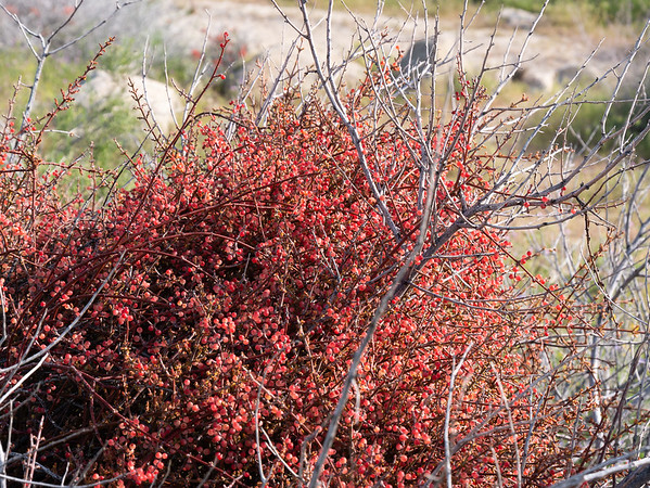 Phoradendron californicum (desert mistletoe).  This is from one of the lower elevation turnouts.  An amazing glob of red berries with not much else.